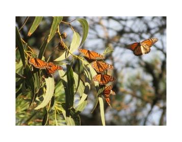 F0862 Monarchs on Euc 1 flying